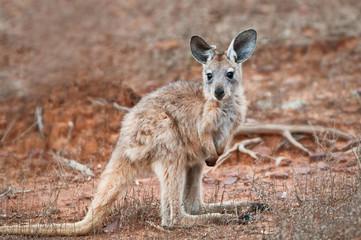 Foto op Aluminium Kangoeroe Kangaroo Joey of the species Euro Wallaroo
