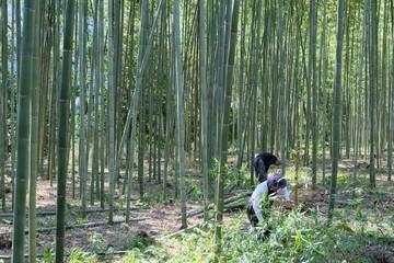 Bamboo harvest