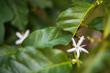 Wall Mural - White flower in coffee tree close up