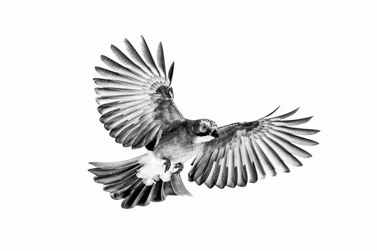 Isolated Euarsian jay in flight with fully open wings and white background in black and white