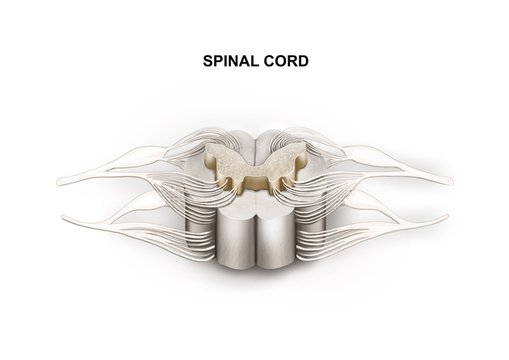 Illustration of the human spinal cord