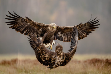 Fotobehang Eagle Isolated white tailed eagle with fully open wings