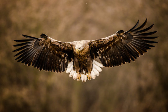Isolated white tailed eagle with fully open wings