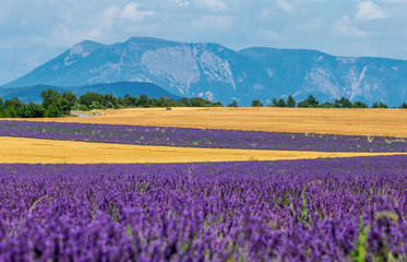 Picturesque lavender field and oat field. France. Provence. Plateau Valensole.
