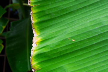 Picture of banana leaves that are dry and green The picture went bananas. Including pictures of infected banana leaves