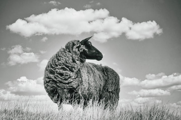 Foto op Aluminium Schapen Black and white image, one brown sheep in the grass, photographed from below