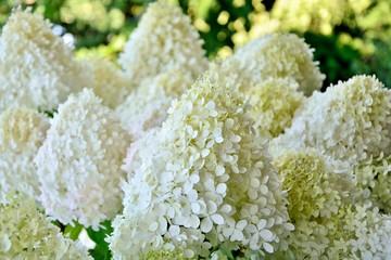 Luxurious hydrangea paniculata in the garden close-up.