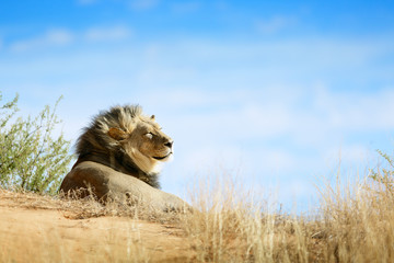 Wall Mural - Lion, Panthera leo, black maned male portrait relaxing and sunbathing on a sand dune in the Kgalagadi desert.