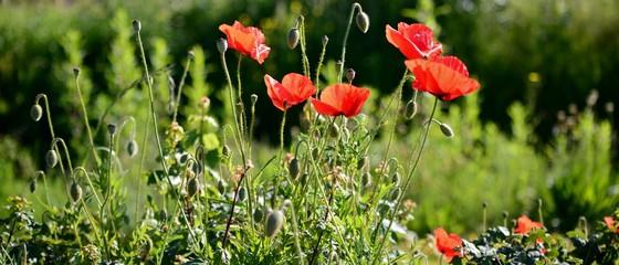 Fotobehang Poppy red poppies in a field