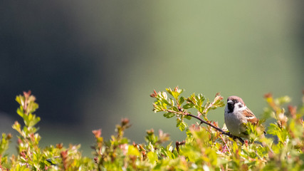 Poster de jardin Oiseau A male sparrow perched on the top of a hawthorn hedgerow against a soft focus background