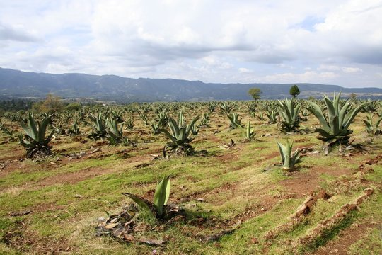 Field of agave plantation under the beautiful cloudy sky