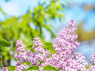 Wall Murals Lilac Blooming lilac purple flowers, selective focus. Branch of lilac in the sun light. Blossom in Spring. Spring concept background.