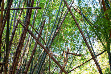 Poster de jardin Bambou bamboo forest with glorious morning sunshine