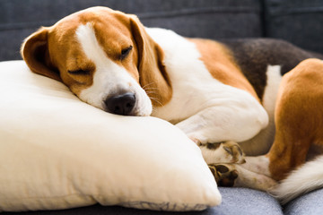 Funny Beagle dog tired sleeps on pillow on couch. Pet on furniture concept. Fotobehang