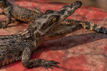 Poster Crocodile Krokodilbaby