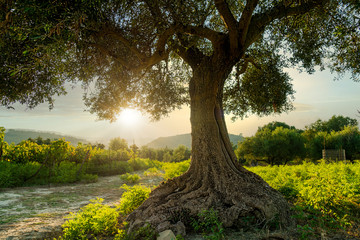 Fotobehang Olijfboom an olive tree taken at sunset in greece