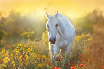 Fotobehang Paarden White horse portrait in poppy flowers at sunrise light