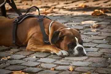 cão deitado no chão de roma com folhas secas ao redor