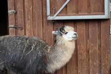 In de dag Lama Alpaka-Lama