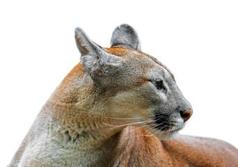 Türaufkleber Puma Close up portrait of cougar / puma / mountain lion / panther (Puma concolor) against white background