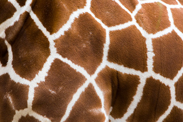 Photo sur Toile Girafe Real giraffe skin or background texture fur. Animal pattern detail wide banner.