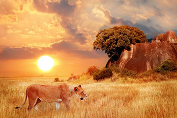 Wall Mural - Lion female in the African savanna against the backdrop of beautiful sunset. Serengeti National Park. Tanzania. Africa.