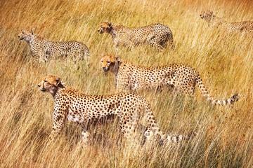 Wall Mural - Group of cheetahs on the hunt . Serengeti National Park . Tanzania.