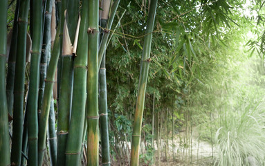 Photo sur Aluminium Bambou Bamboo jungle in sunlight - landscape of park or garden with of tropical climate. Green bamboo forest as nature wallpaper with place for your text on soft blur background to the right.