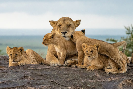 Lion Pride Babies Loving Mama Lion - Maasai Mara National Park, Kenya