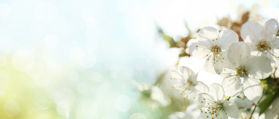 Fototapeta Beautiful cherry tree on sunny day. Amazing spring blossom