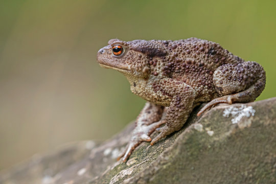 Common toad (Bufo bufo) in the natural ecosystem.
