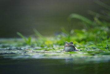frog on green pond