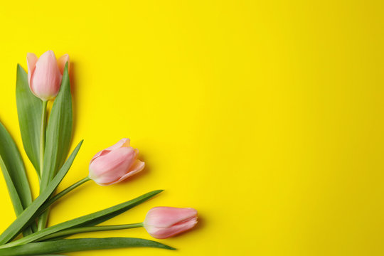 Beautiful pink spring tulips on yellow background, flat lay. Space for text