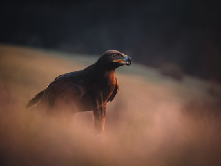 Golden eagle (Aquila chrysaetos) on the rock by sunset. Autumn forest in background.