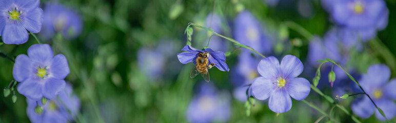 Honey bee collect nectar from Blue large flowers of garden Linum perenne, perennial flax, blue flax or lint against sun. Decorative flax in decor of garden plot. Natural background
