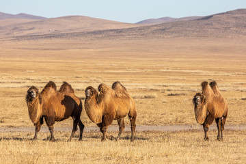 Foto op Canvas Kameel The Bactrian camel (Camelus bactrianus) is a large, even-toed ungulate native to the steppes of Mongolia. The Bactrian camel has two humps on its back
