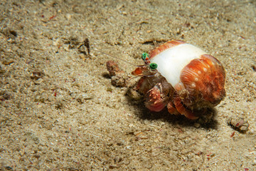 Big hermit crab eat soft coral