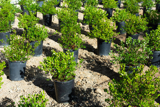 Manzanita shrubs delivered from nursery in black plastic pots and ready to be planted outdoors as drought-tolerant native landscaping