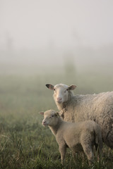 Foto op Canvas Schapen Early morning fog in spring with sheep