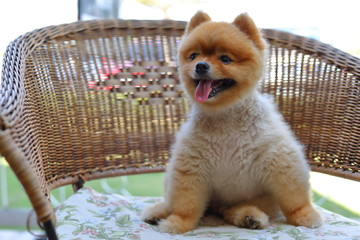 cute brown pomeranian dog animal, fluffy small pet happy smile friendly sitting on chair
