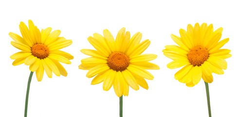 Foto op Textielframe Bloemen Three yellow chrysanthemum blooming flowers isolated on a white background in close-up