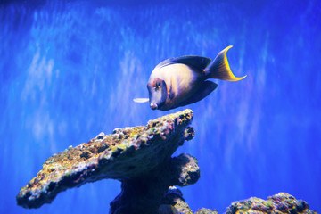 Tropical fish near coral reef as nature underwater sea life background