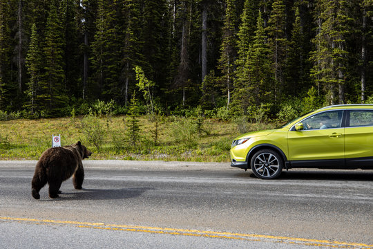Grizzly Bear in crossing a Road with traffic