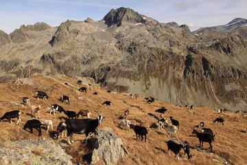 Ziegenherde über dem Splügenpass; Blick zu den Schwarzhörnern