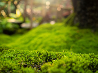Lush green moss forest with old tree with moss, in beautiful sunlight shine on the moss, nature...