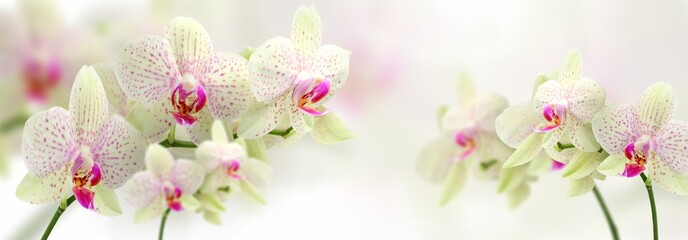 Stores à enrouleur Orchidée vintage color orchids in soft color and blur style for background