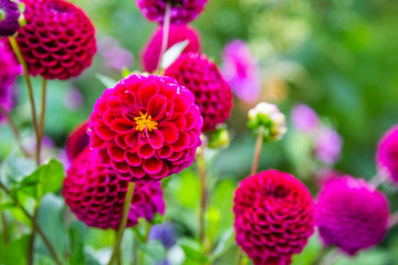 Fototapeten Dahlie giverny, dahlia, pink, garden, flower, claude monet, closeup, background, beautiful, bloom, blooming, blooms, blossom, botany, charming, claude, color, colored, colorful, dahlia flower, dahlias, daisy