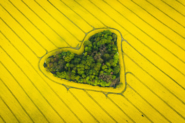 Real heart shaped copse of forest among rape field..Nature love. Valentine symbol.