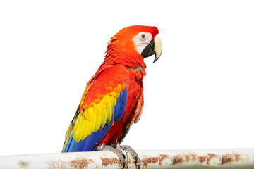 Poster Perroquets The King of parrots bird Scarlet macaw vivid rainbow colorful animal. Isolated on white background. This has clipping path.