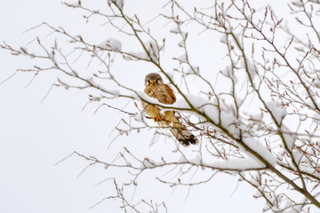 A common kestrel, Falco tinnunculus, perched on a twig covered with snow and ruffled it's feathers